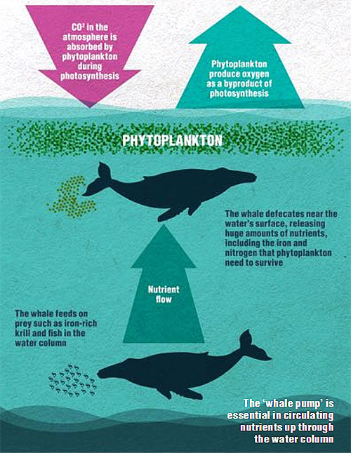 Synergetic benefits of whales to the ocean and human environment