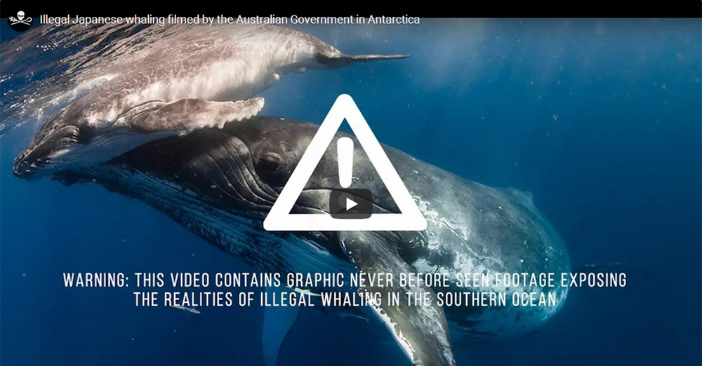 Footage of illegal Japanese whaling in a southern ocean whale sanctuary filmed by customs officials of the Australian Government