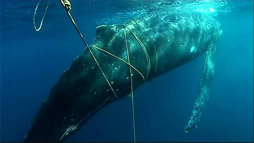 Whale entangled in rope