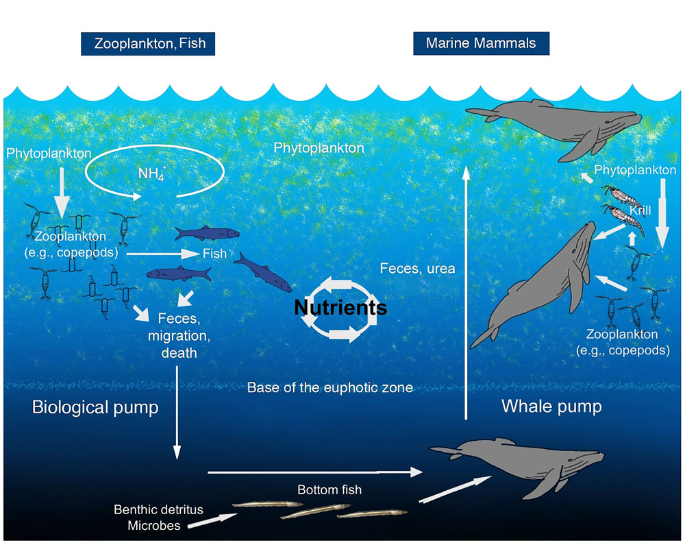 Image showing both biological pump and whale pump for distributing nutrients across the oceans.