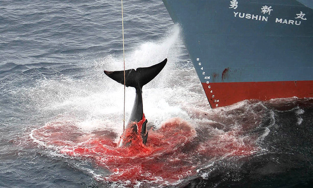 Whale harpooned by the Japanese whaling ship Yushin Maru