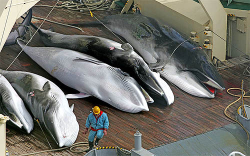 122 pregnant minke whales killed for 'scientific research'